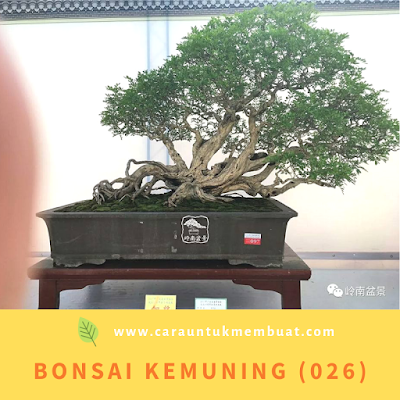 Bonsai Kemuning (026)