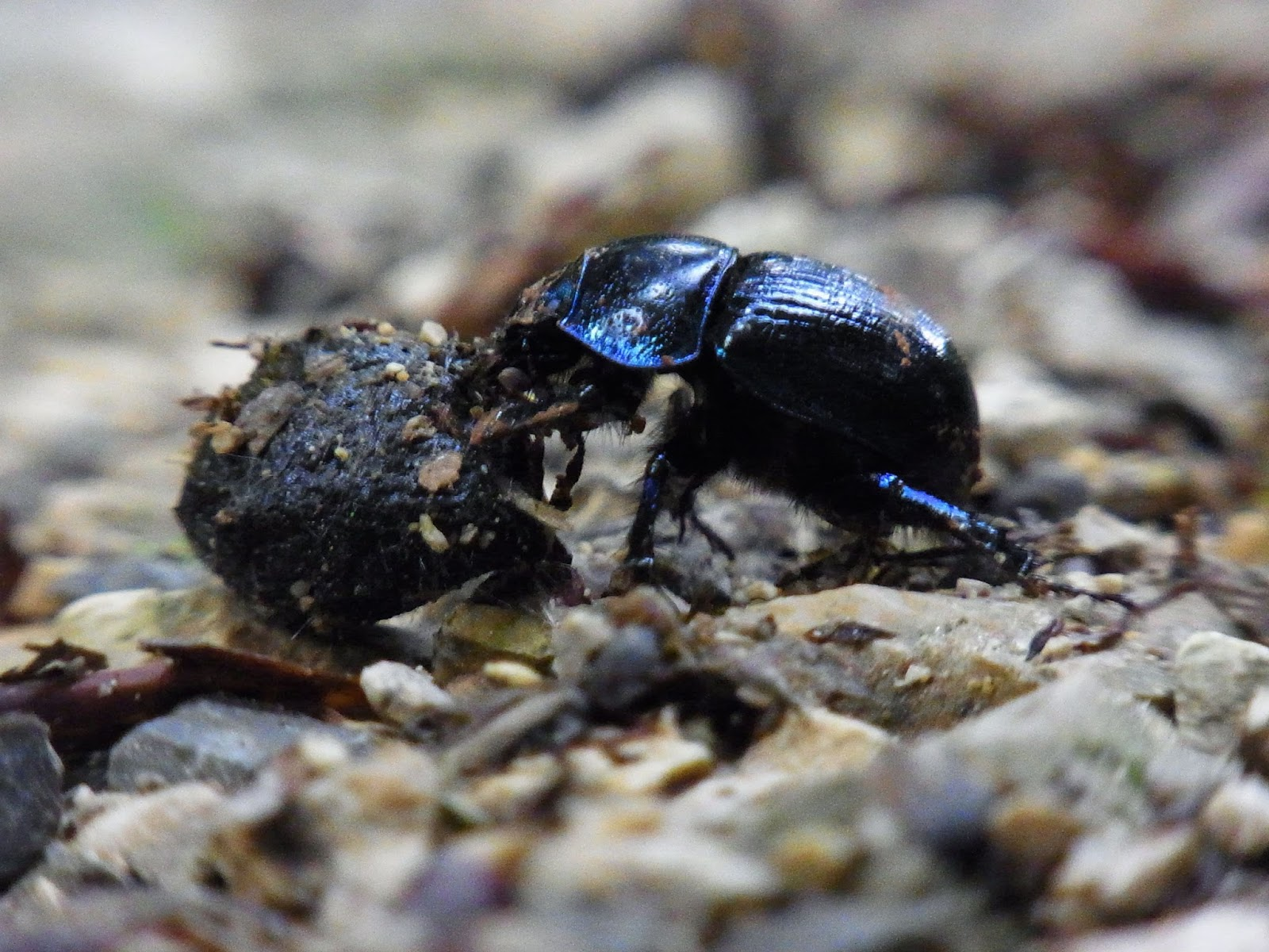 Image of a dung beetle rolling dung.