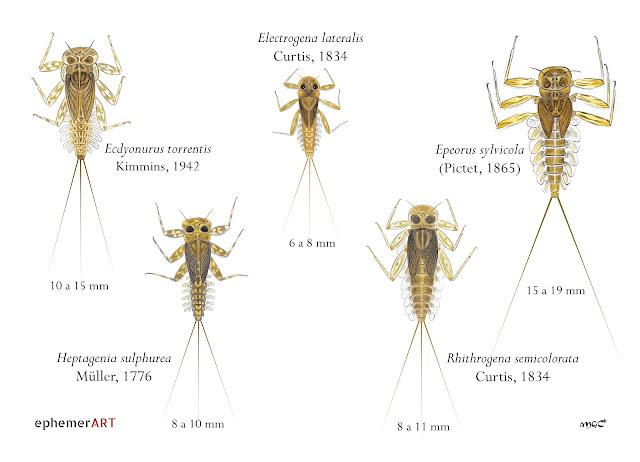 Heptageniidae%2BTodos - Heptagénidos: como diferenciar géneros