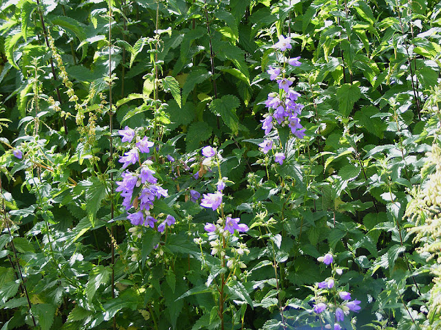 Nettle-leaved Bellflower Campanula trachelium.  Indre et Loire, France. Photographed by Susan Walter. Tour the Loire Valley with a classic car and a private guide.