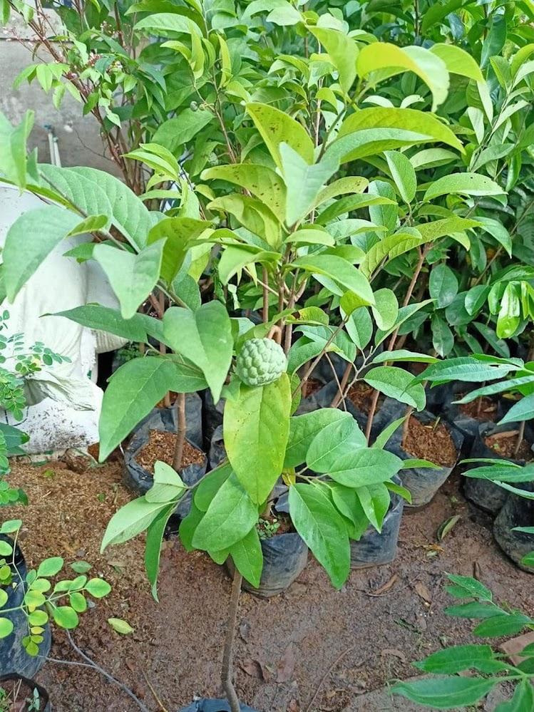 bibit tanaman tambulampot pohon buah srikaya sri kaya sirsak sudah berbuah Jawa Barat
