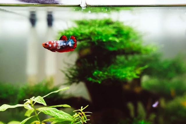 Cara membuat aquascape tema natural dan aquascape tanpa Co2 - Dampak Malas