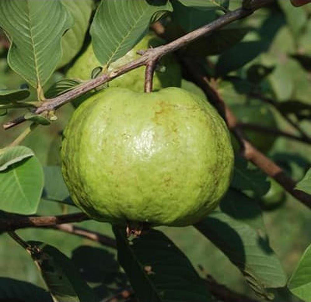biji Benih buah jambu putih lokal 25 biji Lampung