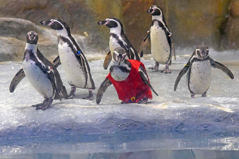 Birthday suit! Penguin causes red alert in special outfit