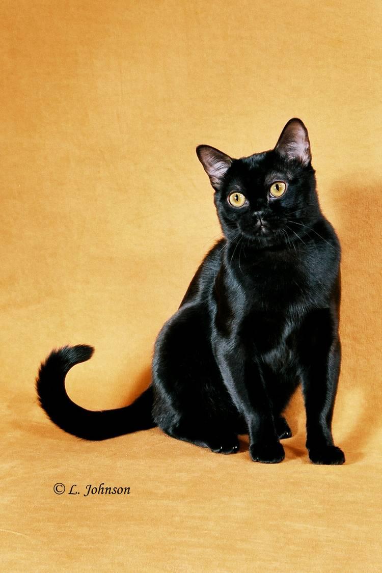 black cat breeds - 750×754