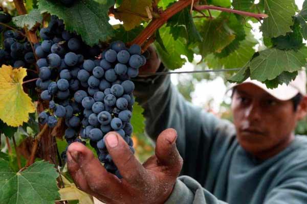 Tarija aumentará en 50% la cosecha de uva el 2017