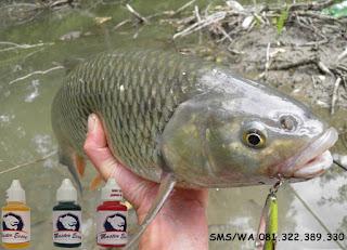 Essen Ikan Mas Subang Khusus Di Rawa