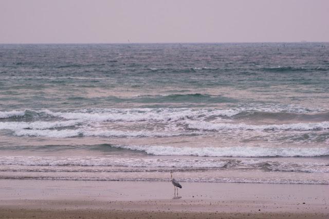 浜辺に佇むアオサギ~岩井海岸(南房総市)
