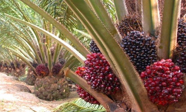 Felda: Seharusnya Indonesia Dan Malaysia Yang Menentukan Harga Minyak Sawit (CPO) Dunia