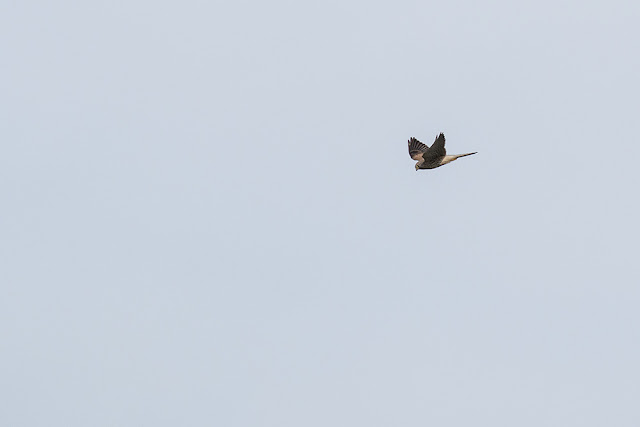 Kestrel fly by