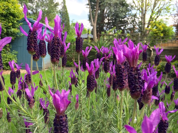London Lavender in bloom