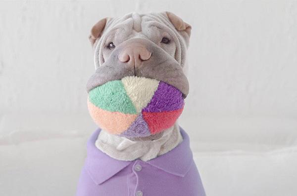 Chú chó Shar Pei mặt ngố sở hữu gu thời trang sành điệu