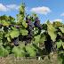 Slovenskí vinohradníci očakávajú jeden z najhorších rokov, najmä kvôli lacnému dovozu