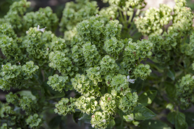 Holy Basil Herb - King of Herbs - Benefits of Holy Basil