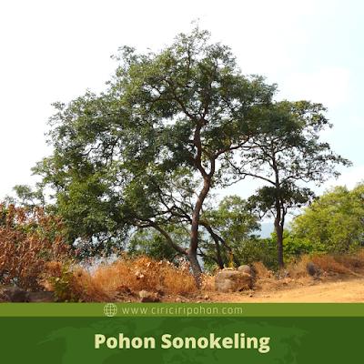 Ciri Ciri Pohon Sonokeling