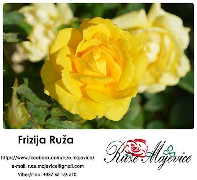 Frizija Ruža - Plamen Sunca u Vašem vrtu