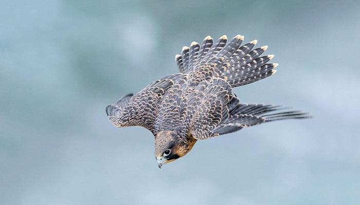 burung tercepat di dunia