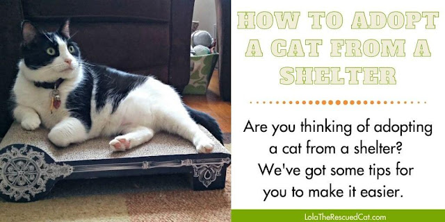 how to adopt a cat from a shelter