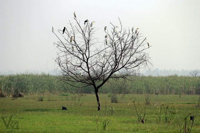 Egrets and Cormorants perched on the tree