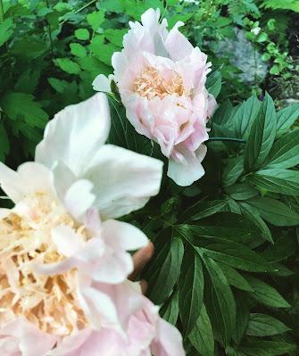 Ewelina-pionin teki kaksi kukkaa