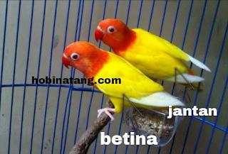 perbedaan lovebird jantan dan betina paling akurat