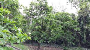 árvores_babosa_branca