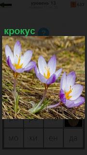 Среди пожелтевшей травы растет цветок крокус голубого цвета
