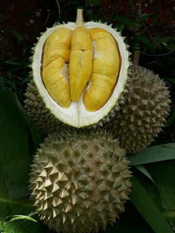 bibit durian musang king Palu