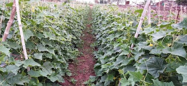 काकडी लागवड आणी व्यवस्थापन , cucumber planting, cucumber 🥒 farming, खिरेकी की बुवाई और देखभाल