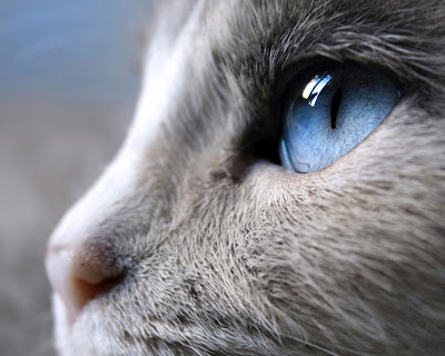Siam cat eye Desktop Wallpaper Free