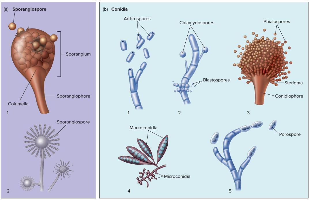 arthrospora, klamidospora, blastospora, phialospora, microconidia, macroconidia, porospora, Sporangiospora