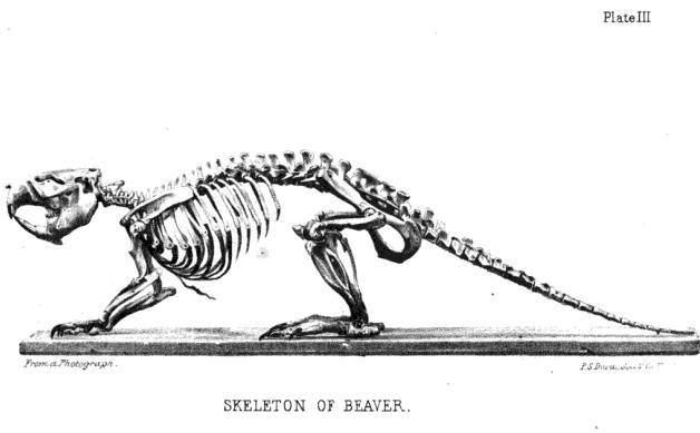 coyote teeth diagram carrier air handler wiring ac beaver skull diagram, beaver, free engine image for user manual download