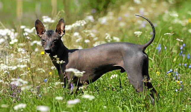 Xoloitzcuintli-dog-breed