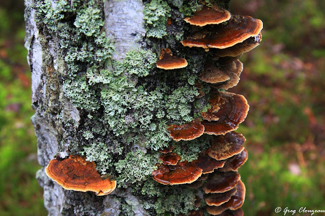 Colonie de tramètes sur un tronc de bouleau