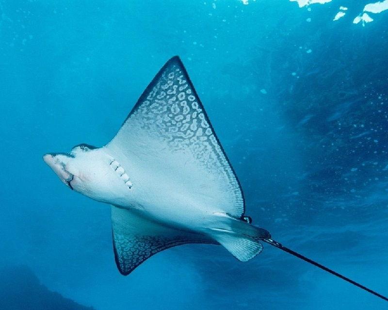 Gambar Ikan Pari bernafas dengan insang dan termasuk jenis ikan bertulang rawan