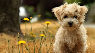 Best small breed dogs that don't shed or bark