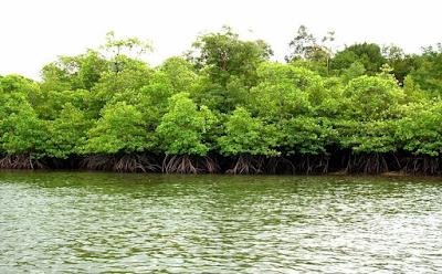 13 Manfaat Hutan Mangrove Untuk Kehidupan Manusia