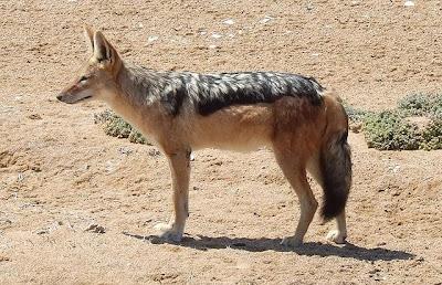 สัตว์สุดยอดคุณพ่อ, หมาป่าแจ็คเคิล (Jackal Wolf)