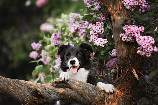Companion animal Psychology turns 8; happy border collie in tree