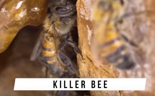 Lebah Pembunuh (Killer Bee)