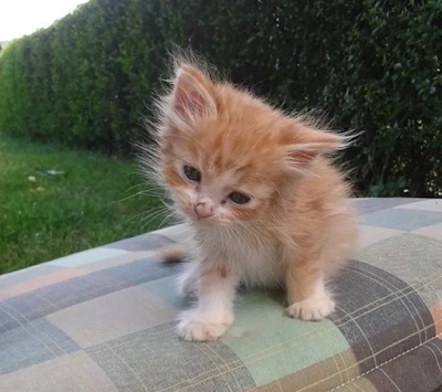 Tiny Ginger Kitten Found in Woods Without a Mom, Now Two Years Later!!