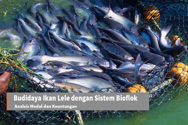 Usaha Budidaya Ikan Lele dengan Sistem Bioflok: Analisis Estimasi Modal dan Keuntungan