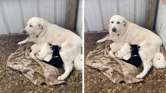 Чужих детей не бывает: Собака удочерила козочку и кормит ее молоком