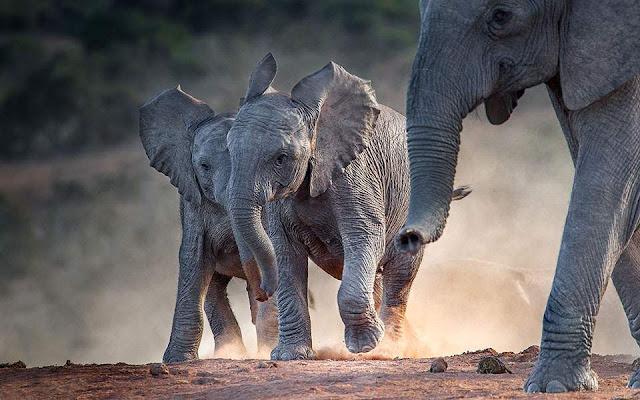 ston-phneio-zoysan-kapote-elefantes-ippopotamoi-kai-rinokeroi