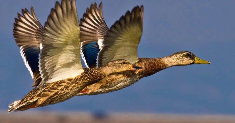 Звукоречье: Перелетные птицы