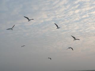 Sea Birds of St. Martin's Island