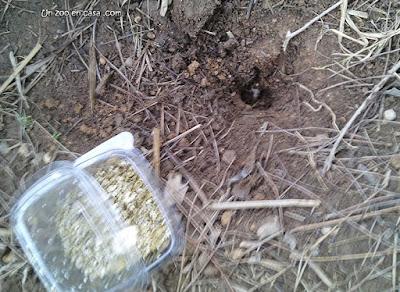 Puesta de huevos de Glyptemys insculpta