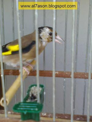 ترويض طائر الحسون على التغريد أمامك و الأكل من يدك