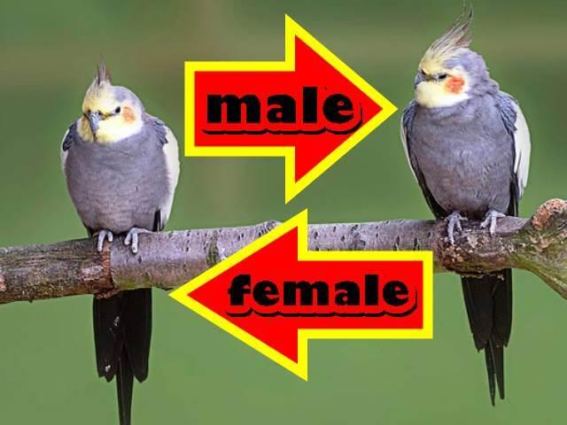 كوكاتيل ذكر وأنثى الرمادي العادي  male and female cockatiel