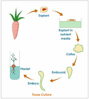Totipotency: Meaning, Expression and Importance   Plant Tissue Culture